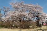 日大桜20140413-1