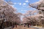 日大桜20140413-3